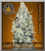 Auto Critical Mass - Buy Quality Cannabis Seeds - Advanced USA Supplier